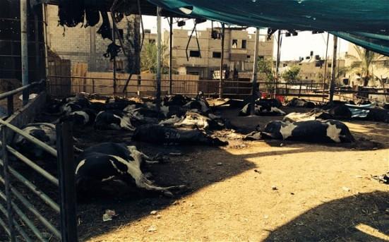 gaza-cows_2992039b
